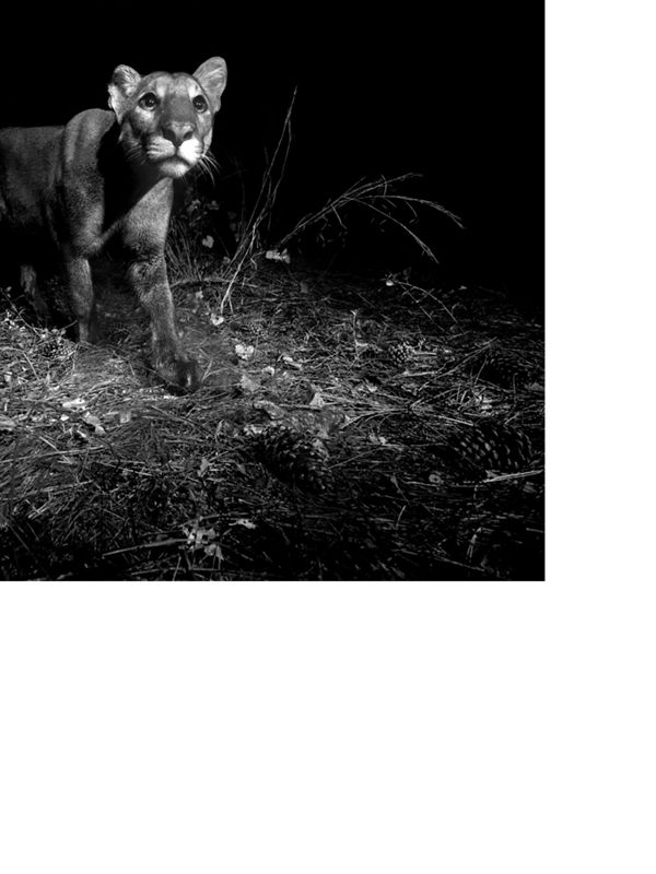 Black and white image of a Florida panther at night.