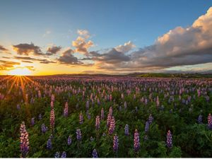 A expansive field of purple wildflowers at sunset.