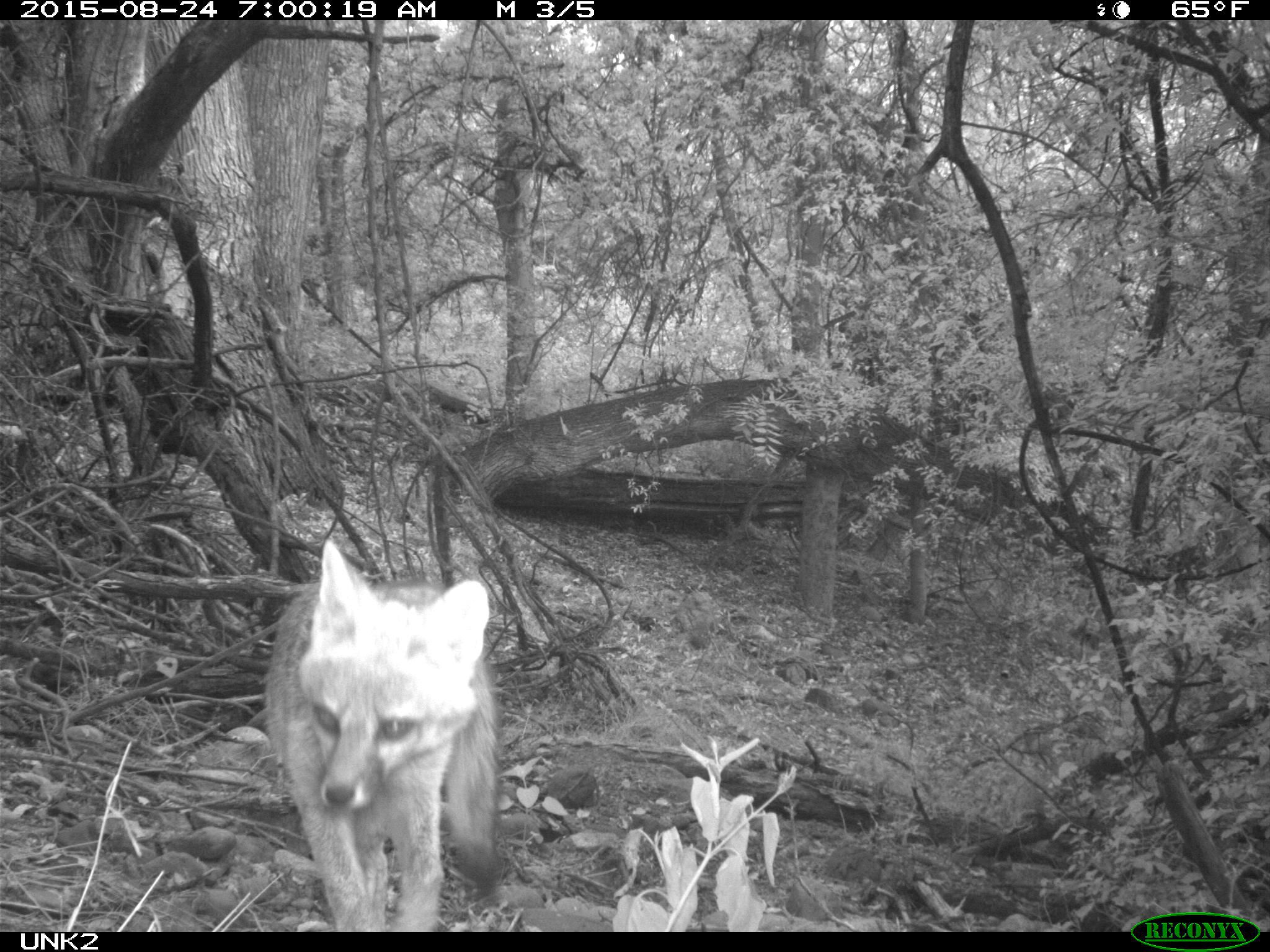 Black and white trail cam photo of a fox walking towards the camera.