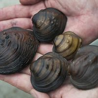 A variety of mussels recovered by field researchers with the Minnesota Division of Natural Resources (DNR).