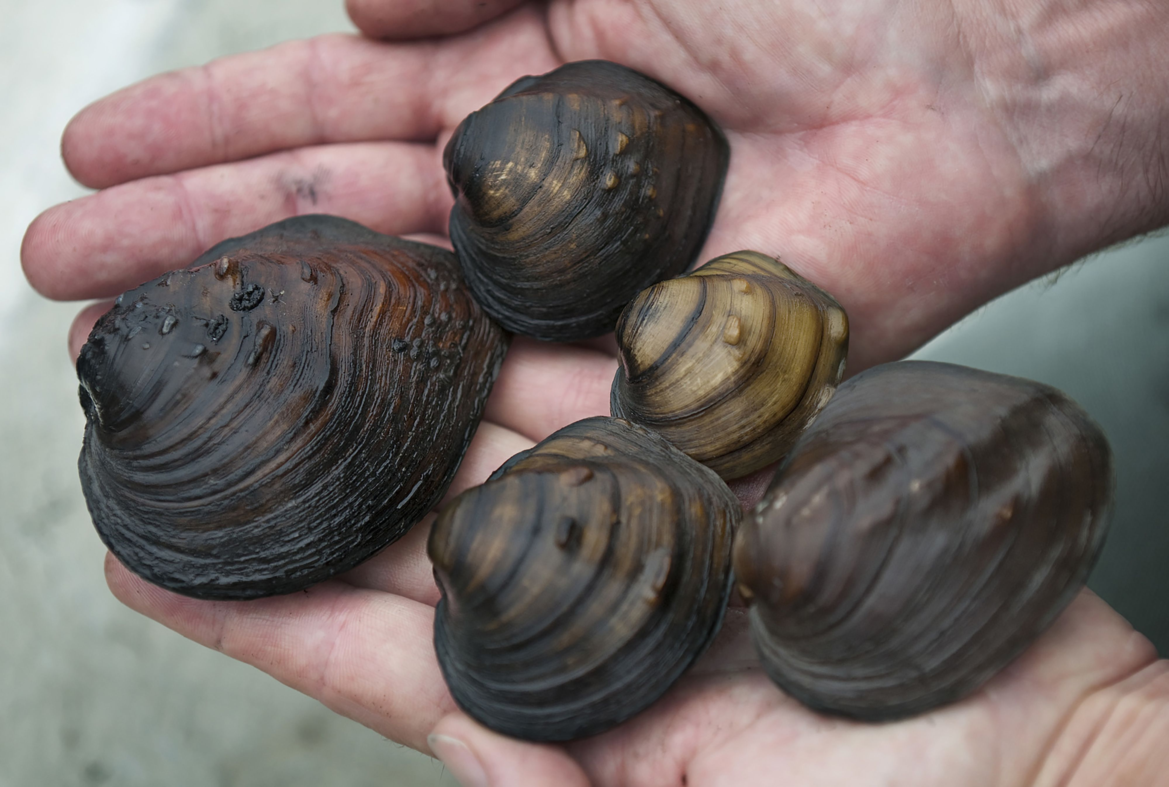 Five freshwater mussels of varying size