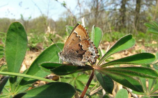 A light brown butterfly with silvery tones and a darker brown jagged stripe across its wing, sitting on a green leaf.