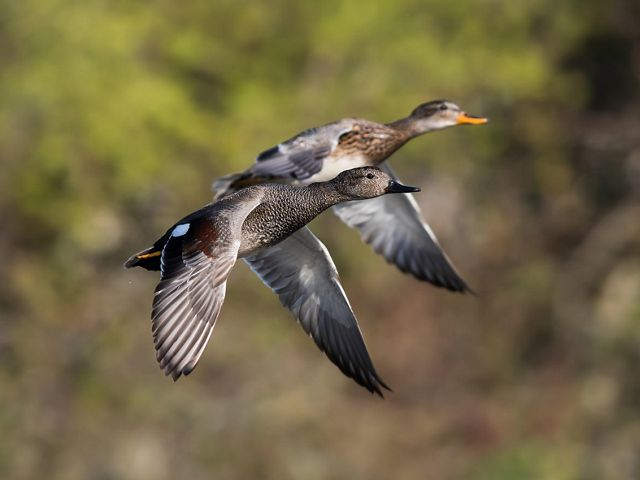 Two adult gadwalls are flying through a forested area.