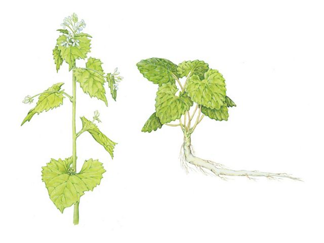 (Alliaria petiolata) Garlic mustard has a two-year life cycle, and one plant can produce more than 7,000 seeds before dying.