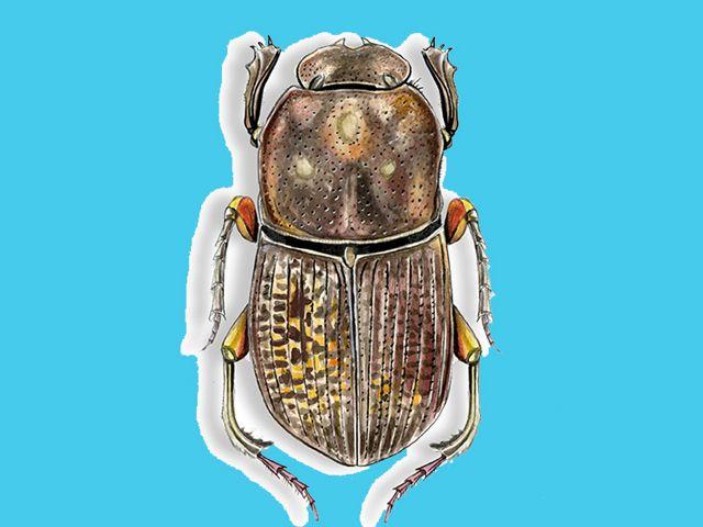 Son dispersores de semillas, descomponedores de la materia orgánica y ayudan a la aireación y fertilización del suelo. Se registraron en La Guajira y Meta.