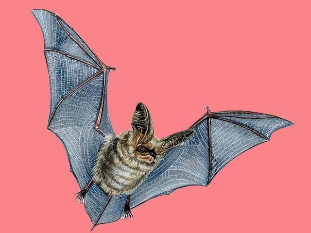 Histiotus montanus. Controla plagas, su dieta es principalmente a base de insectos. Tiene una amplia distribución, se presume que tiene gran población.