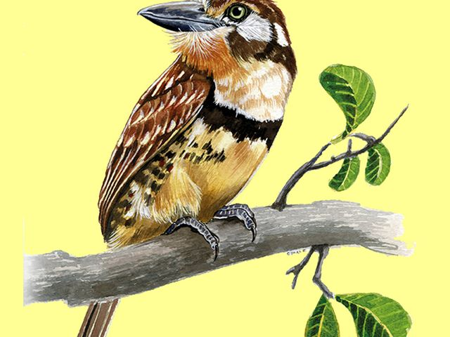 Hypnellus ruficollis. Controla plagas, y su presencia es indicadora de una buena salud del ecosistema. Puede habitar en cercas vivas y árboles dispersos en potreros.