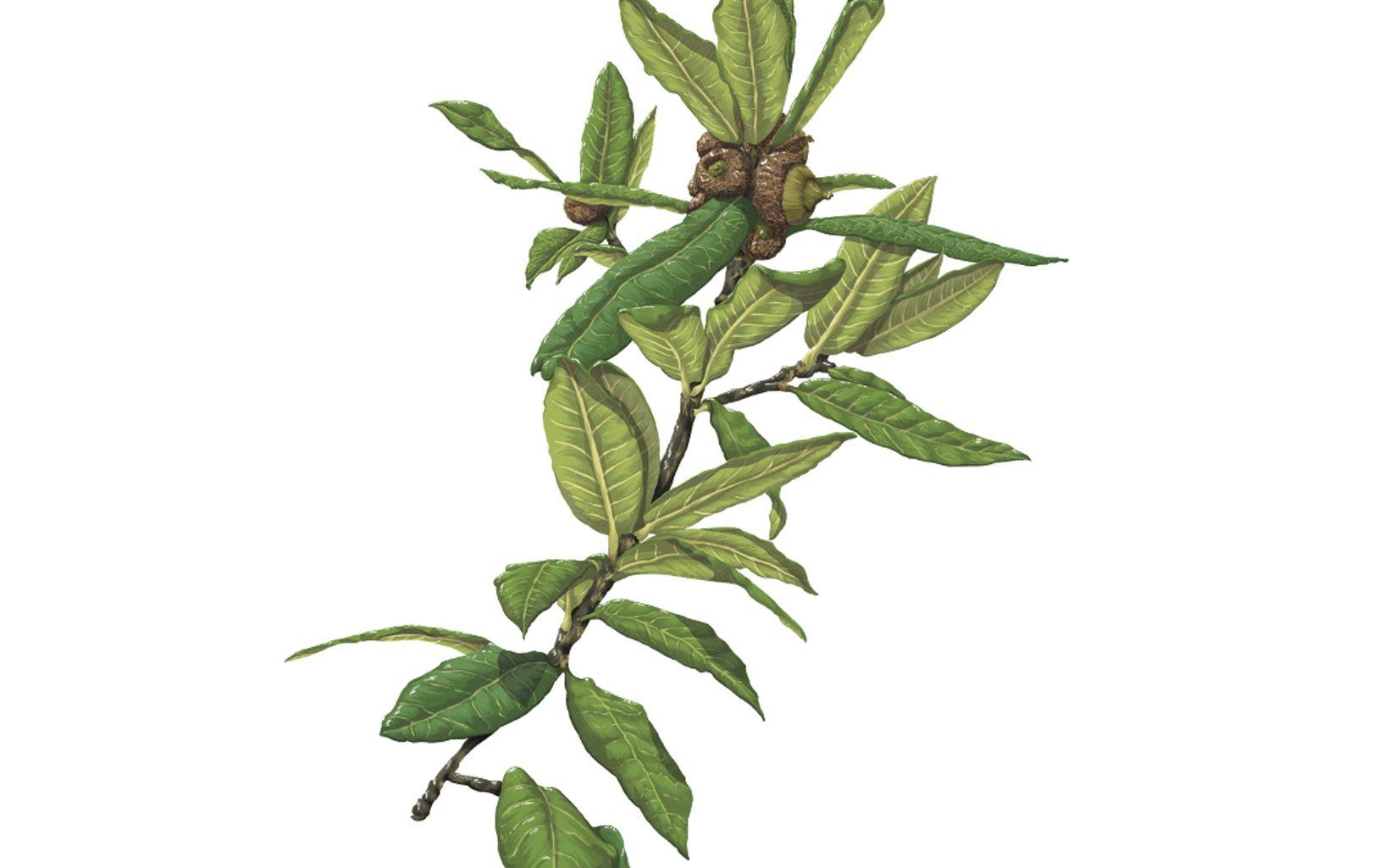Quercus humboldtii. Esta importante especie focal es hábitat de orquídeas, aves, roedores, reptiles e insectos. Funciona en barreras rompevientos y protege quebradas.