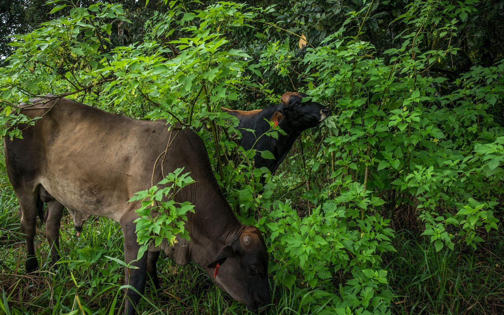 Una ganadería que reduce impactos y contribuye a reforestar por el bienestar de la biodiversidad, con impactos muy positivos en la productividad de los pequeños ganaderos.