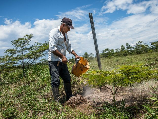 La primera medida de Edilson fue plantar cercas vivas, uno de los arreglos de sistemas silvopastoriles diseñados para proteger el ganado. Los resultados fueron muy exitosos.
