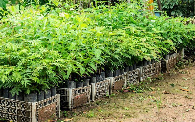 El proyecto sembró contribuyó con material vegetal para todas las implementaciones de los beneficiarios. Parte clave del sistema de incentivos e involucramiento.