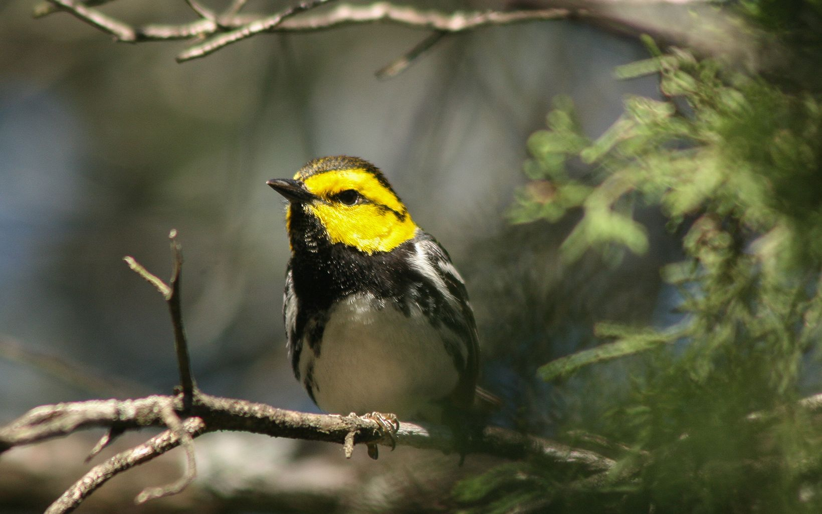 A golden-cheeked warbler, a federally endangered songbird.