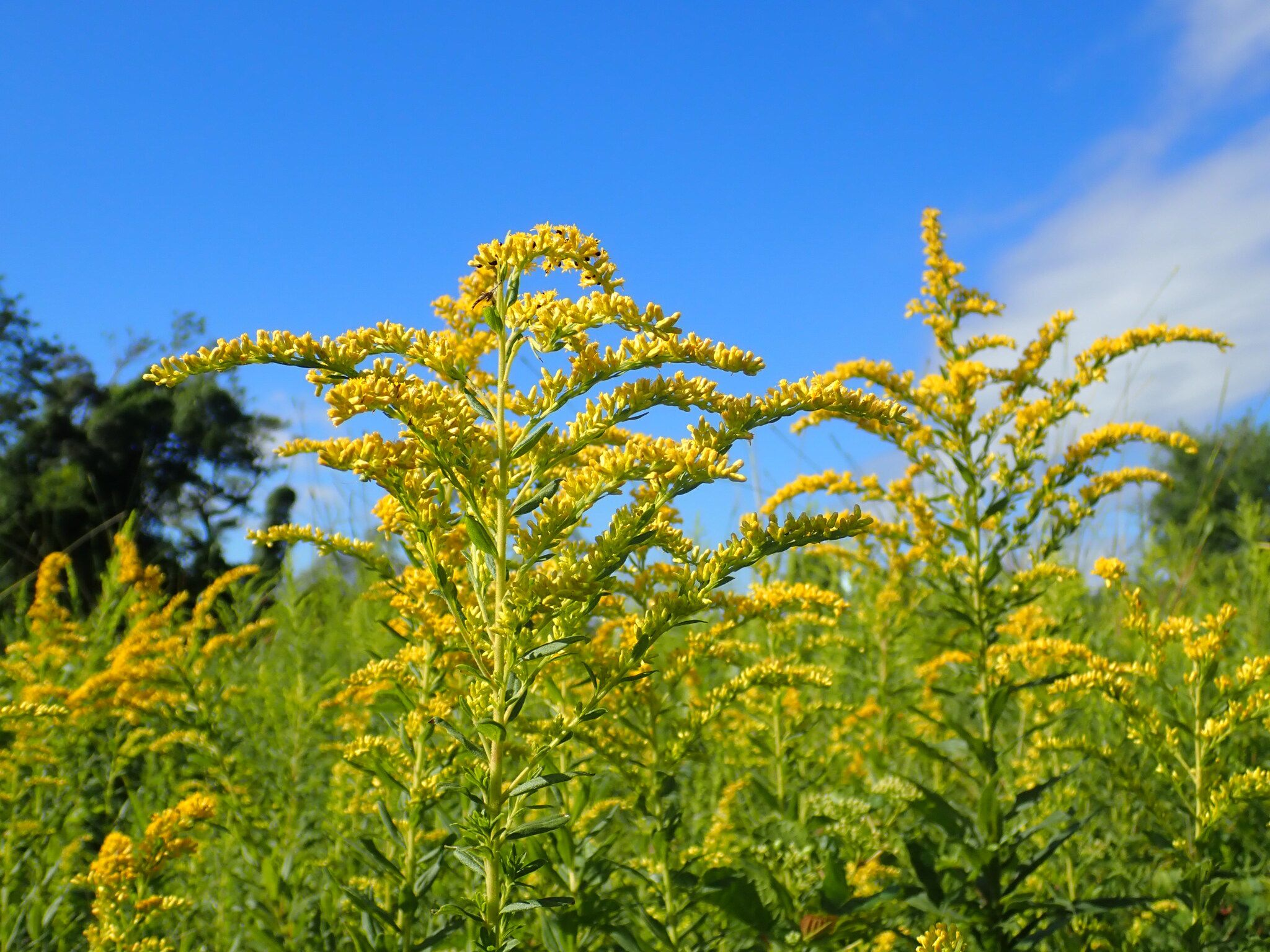 Bright yellow goldenrod plants are against a blue sky background.
