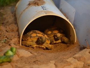 Hatchlings at the Camp Shelby gopher tortoise nursery.