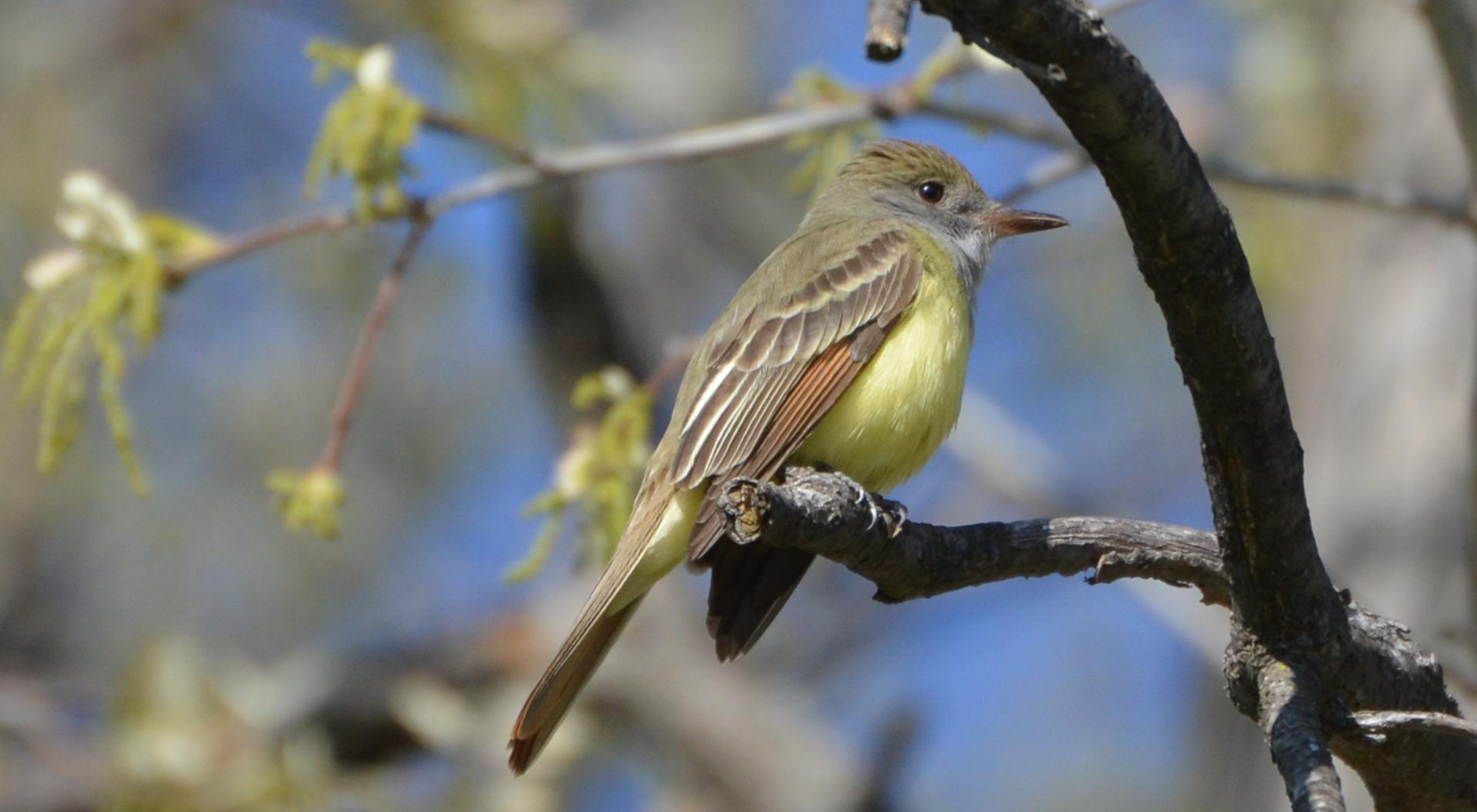 A great crested flycatcher sits on a branch
