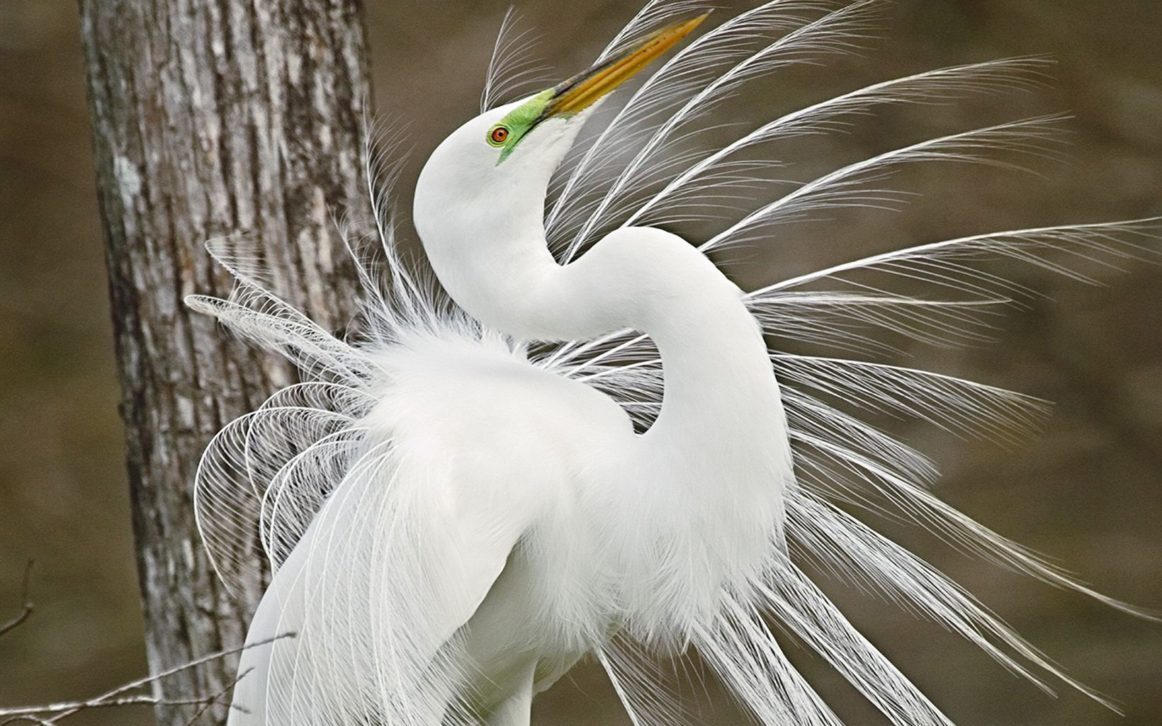 Great Egret displaying