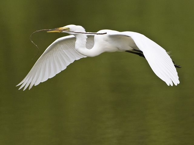 The Great Egret (Ardea alba), also known as the Great White Egret or Common Egret, photographed in flight with nest material in Florida.