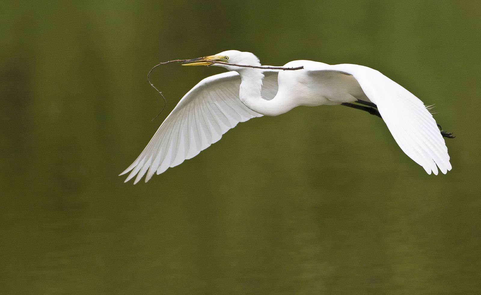A great egret is flying above water with a stick in its bill.