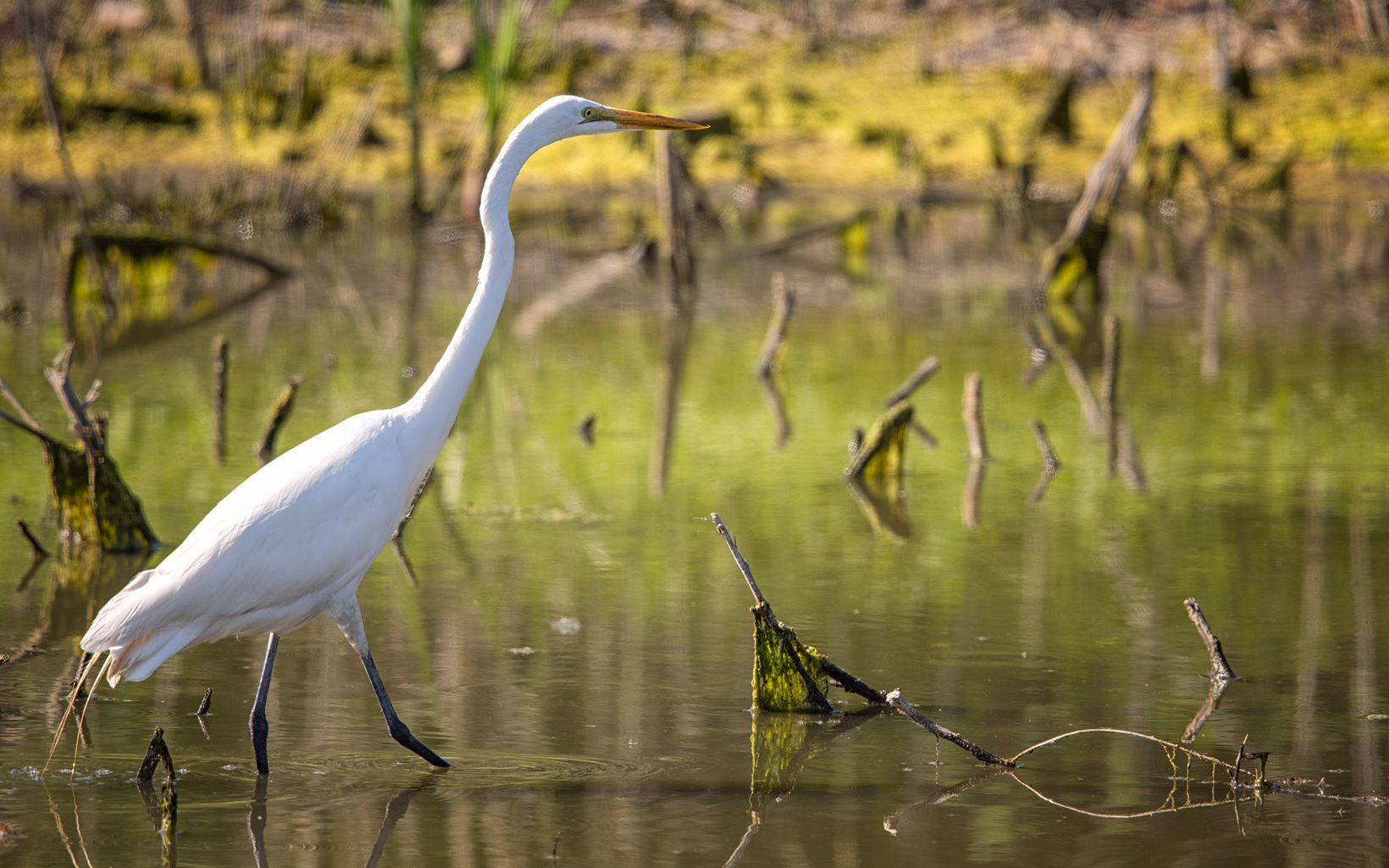 Great white heron, or great egret, wading in standing water with sticks and moss.
