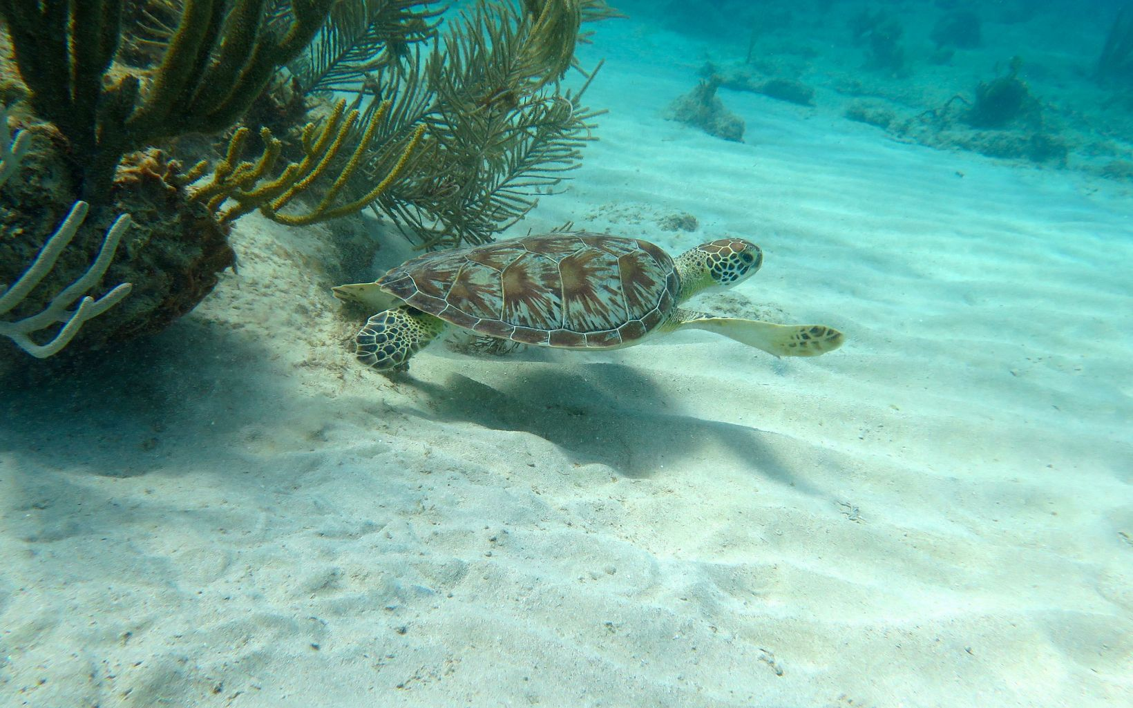 a small turtle hovers over the sand underwater