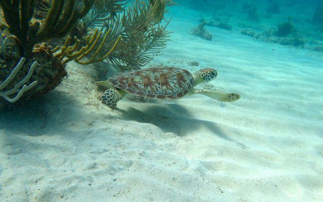 Green sea turtle, USVI