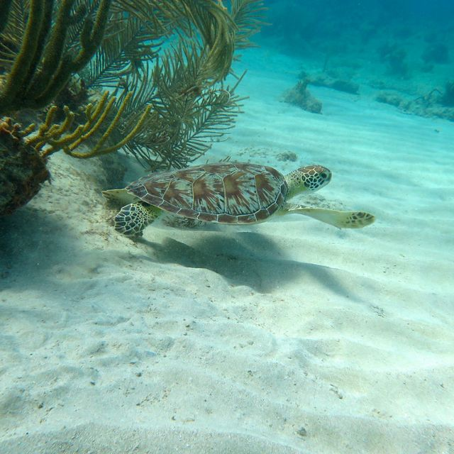 Green sea turtle in the U.S. Virgin Islands