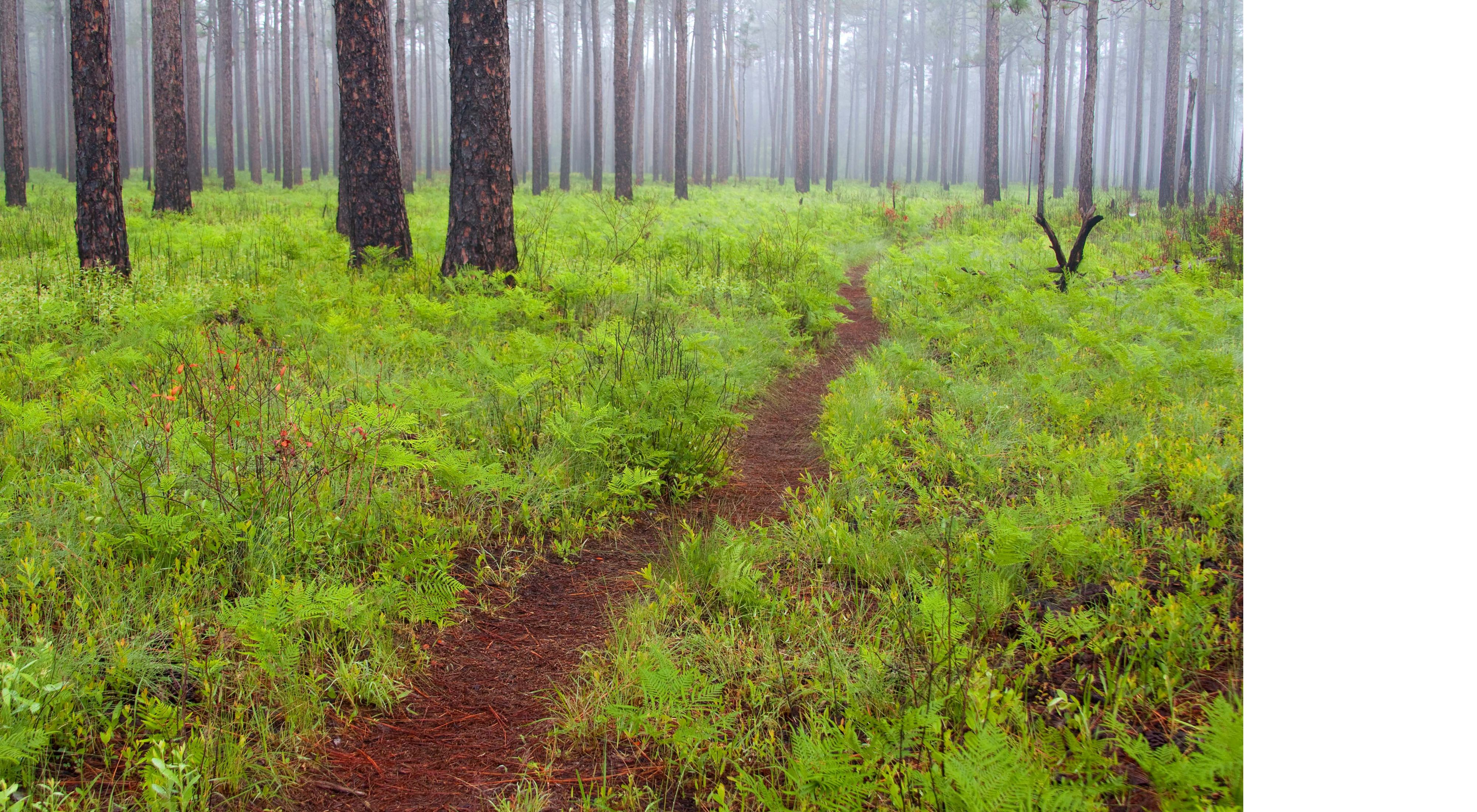 A trail through ferns and other undergrowth in a foggy pine forest.