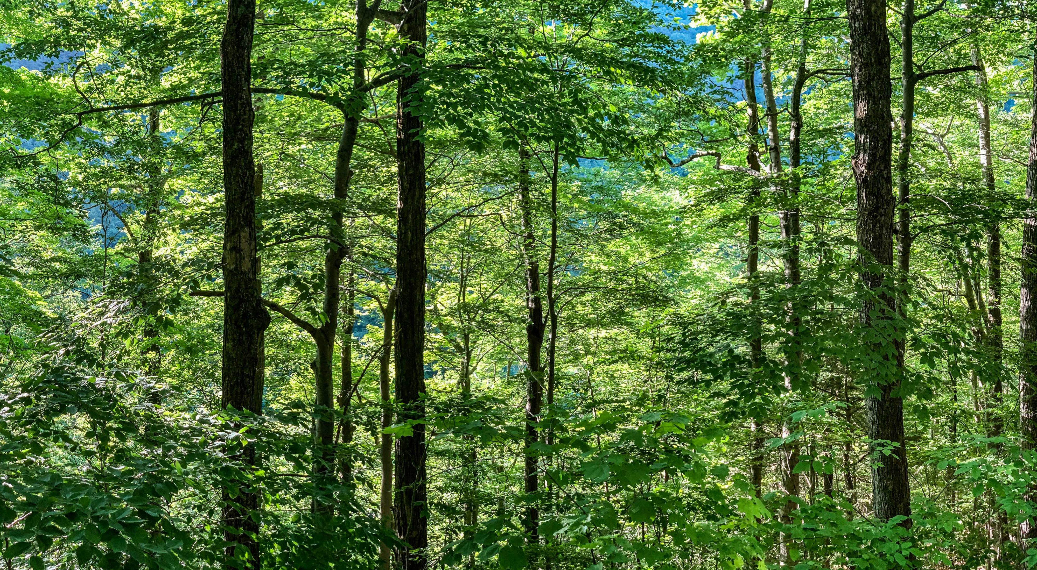 A mixture of mature hardwoods with hemlocks or spruces is the ideal nesting habitat for Blackburnian warblers.