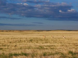 The longest pronghorn migration in North America is on the Northern Great Plains