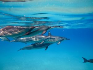 Underwater photo of spinner dolphins.