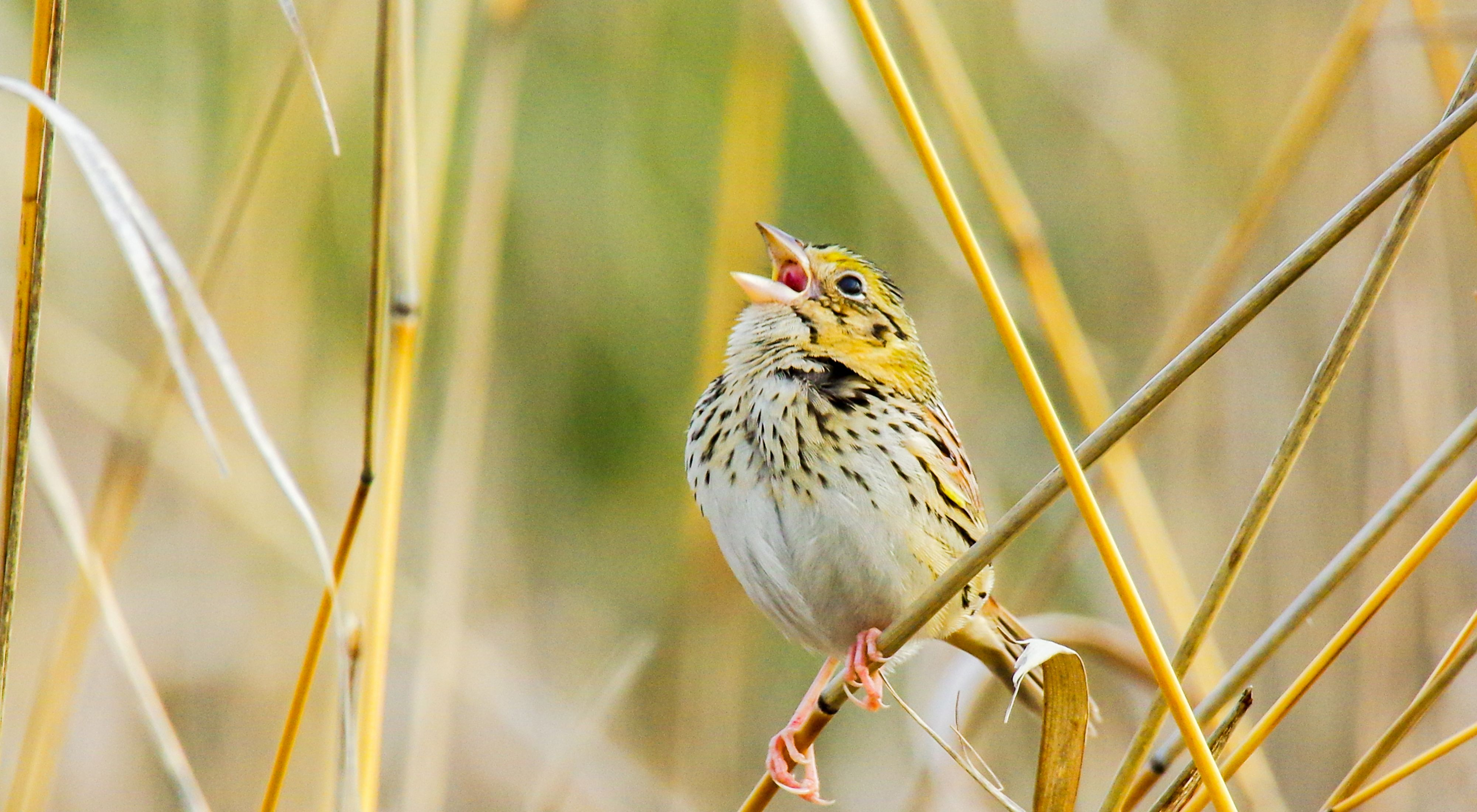 The Henslow's sparrow is one of the rare grassland species found at the Persimmon Gully Preserve.