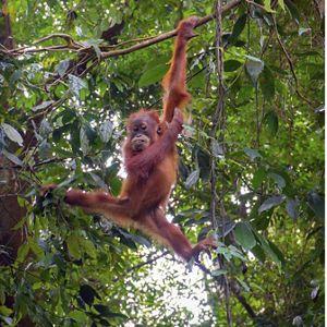 關於紅毛猩猩的有趣問題