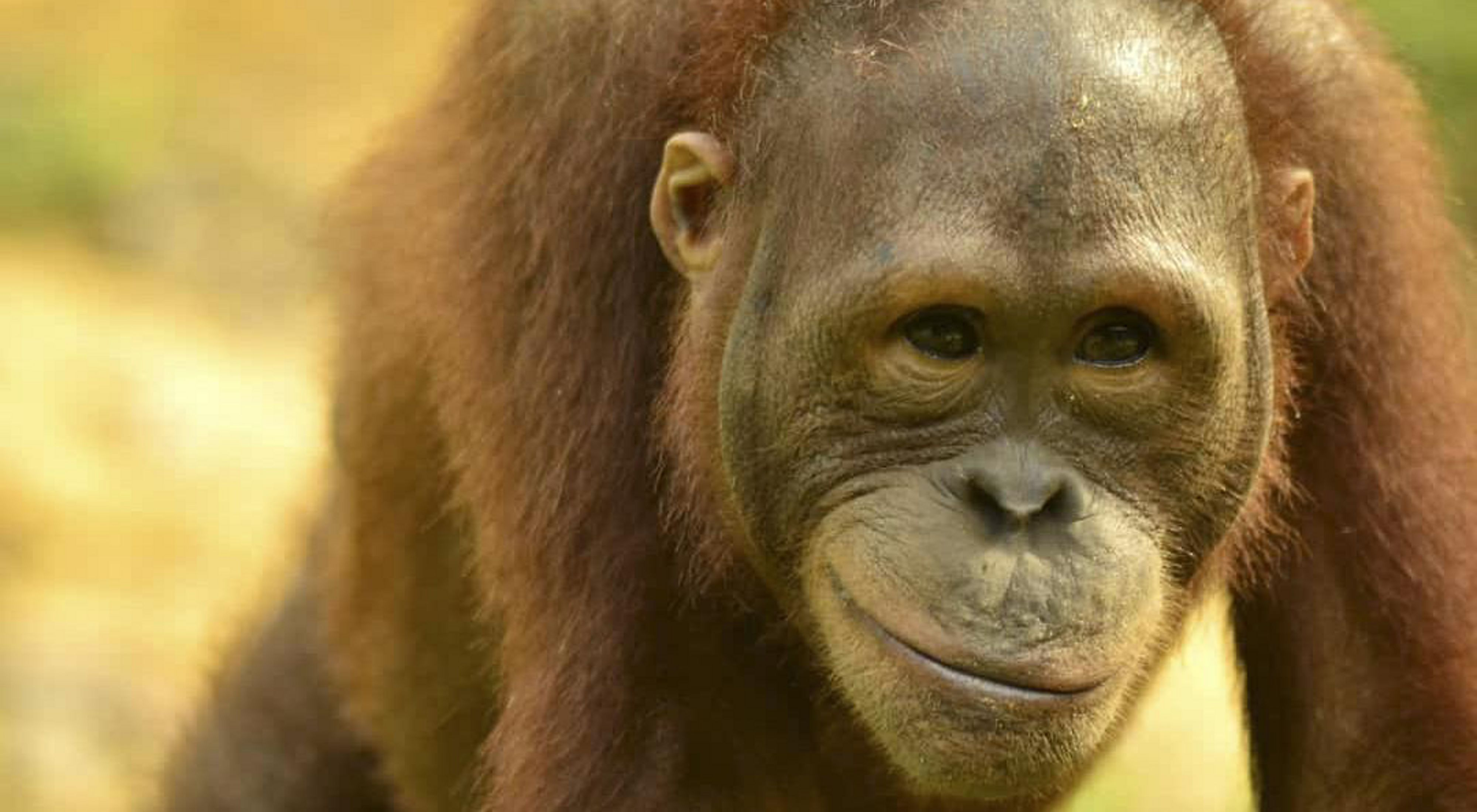 An upclose of an orangutan that appears to be smiling.
