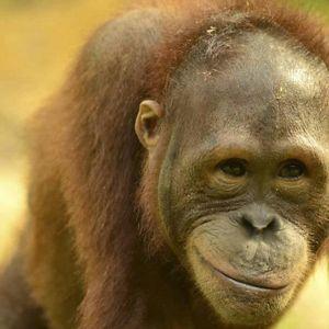 幫助紅毛猩猩及其森林