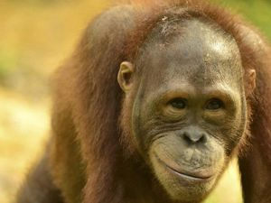 An up close  image of an orangutan's face who appears to be smiling.