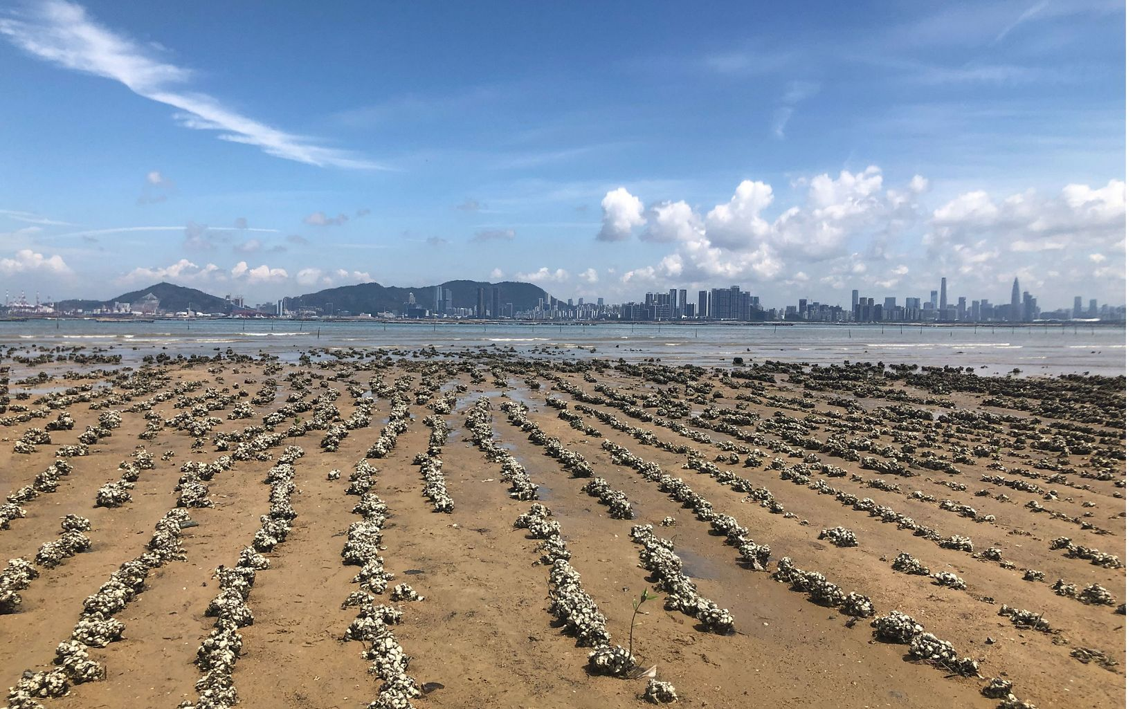 Rows of oyster shells cover sandy ground with the city of Shenzhen in the background.
