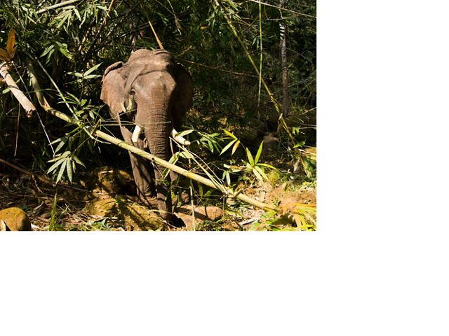 Asian Elephants in Myanmar are essential for low-impact, sustainable logging.