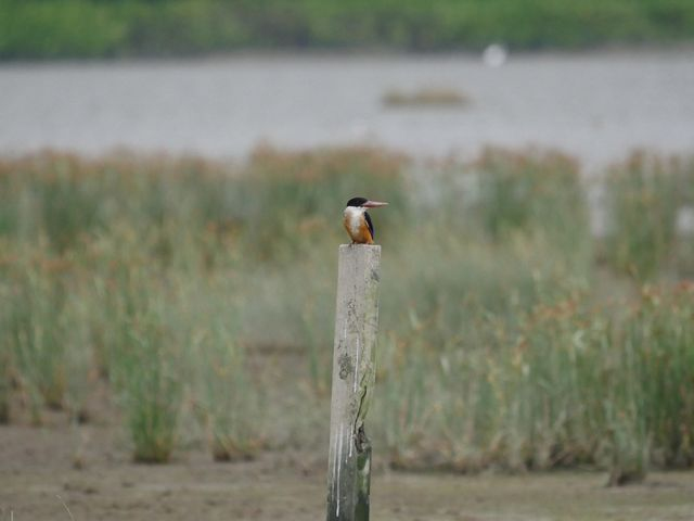 A black-capped kingfisher stands on a pole surrounded by marsh.