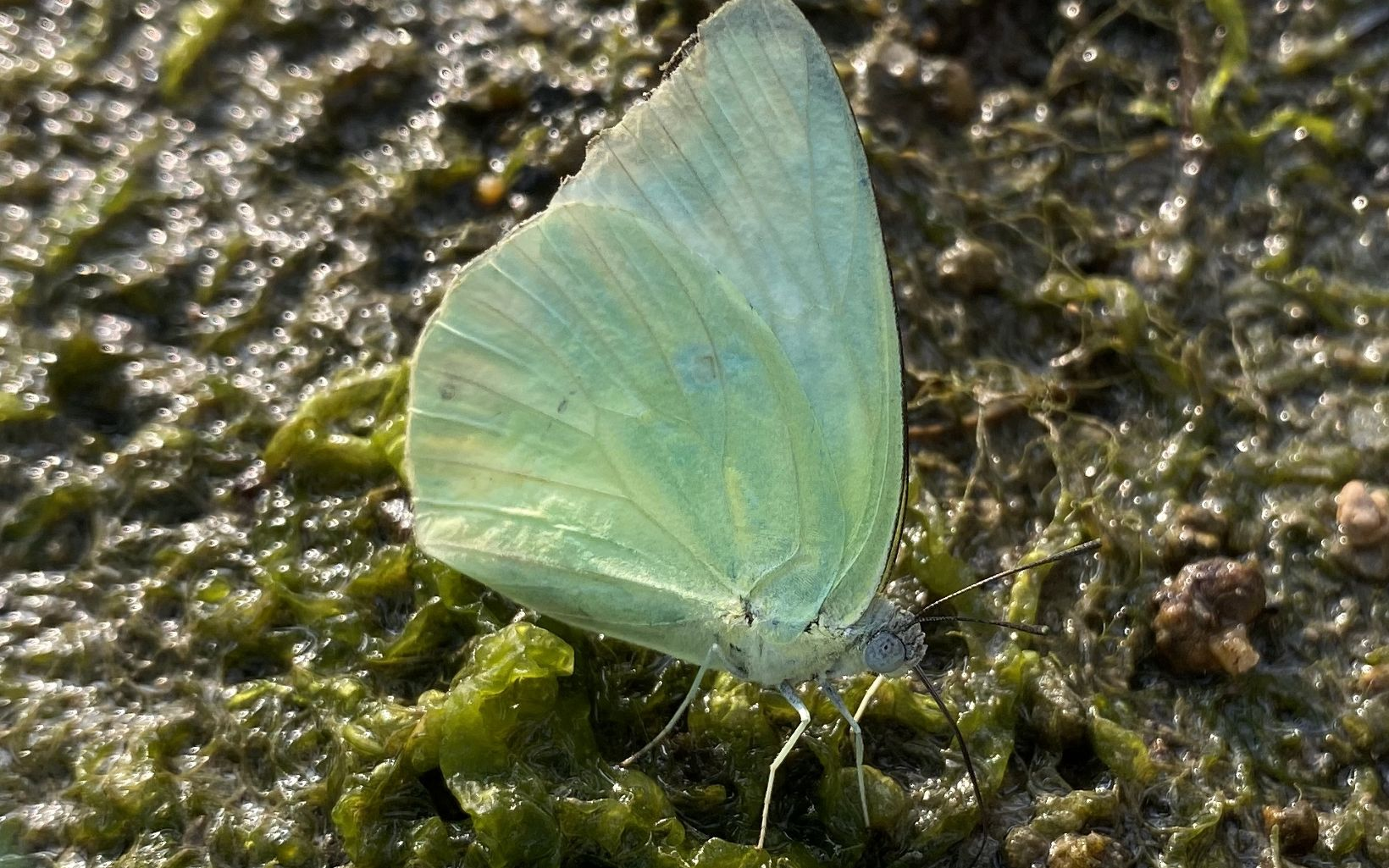 Up close photo of a light green butterfly.