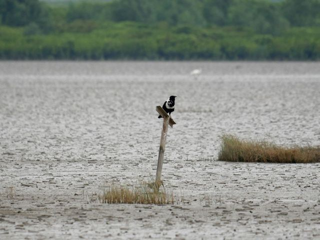 A collared crow bird stands on a post sticking out of a body of water.