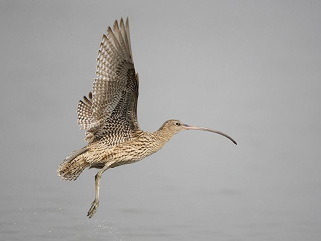 The largest of all the world's shorebirds, the Eastern Curlew's impressive bill is used to probe mud and dig up crabs and molluscs.