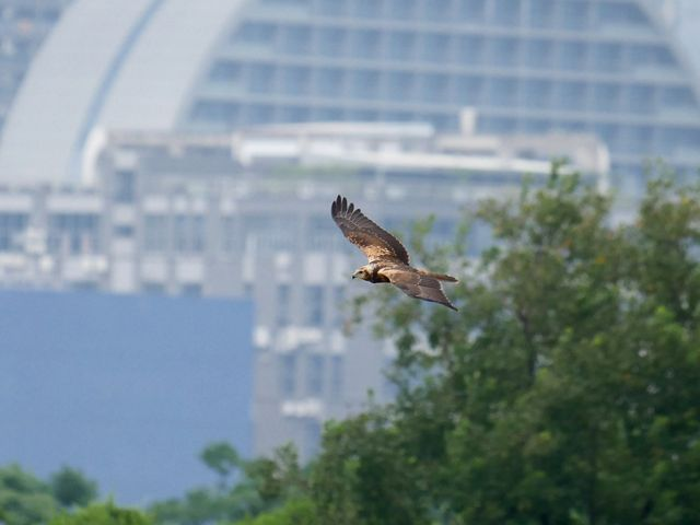 Easter Marsh Harrier bird flying in front of a building.