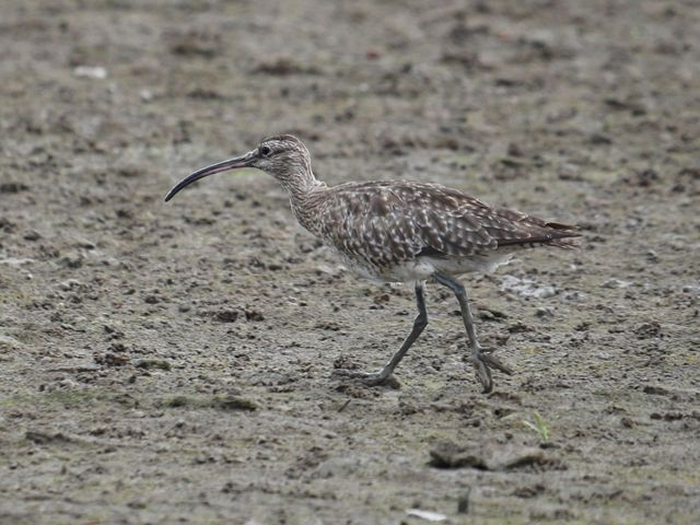 A Eurasian Whimbrel has a curved bill.