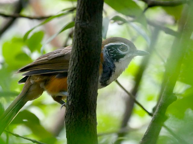 A greater necklaced laughingthrush bird is peeking out from behind a branch.