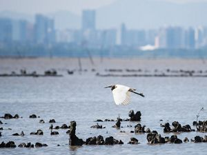 A white waterbird flies over a body of water with oyster shells poking out.