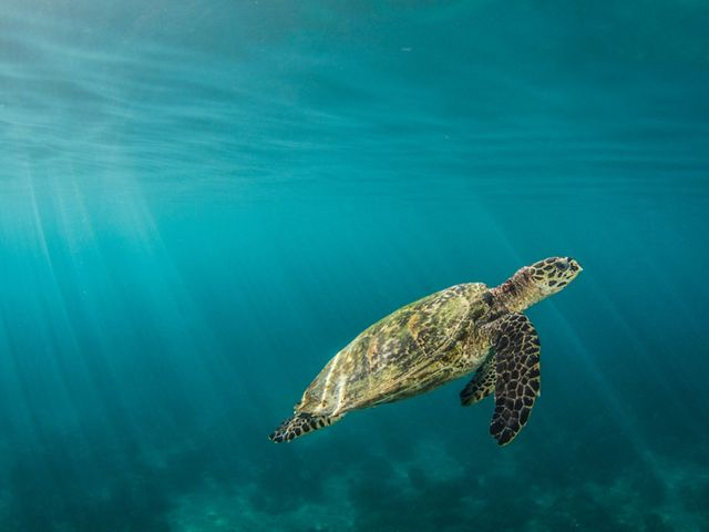 hawksbill turtle surfaces for a breath of air.