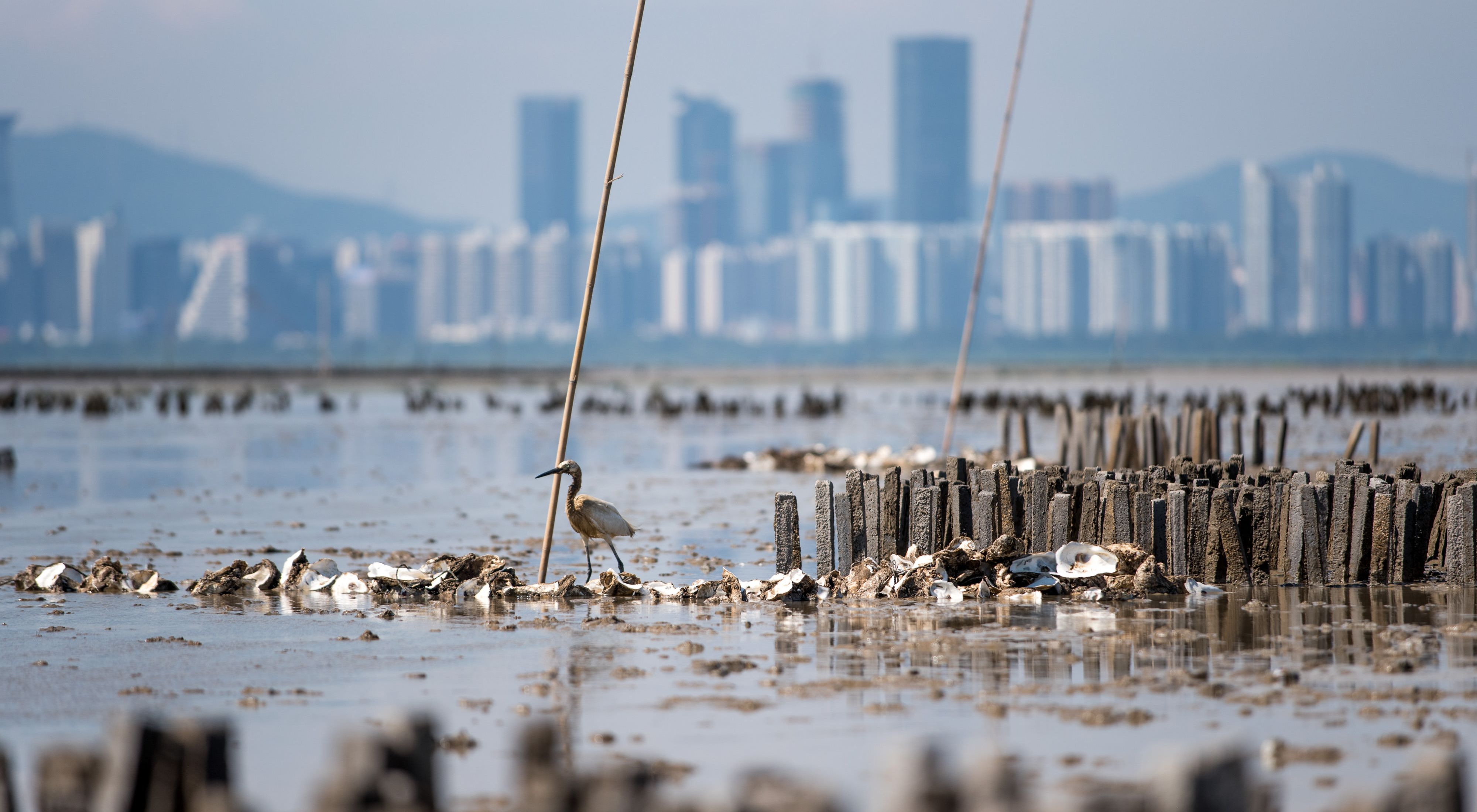 A waterbird stands on a collection of oyster shells in the bay.