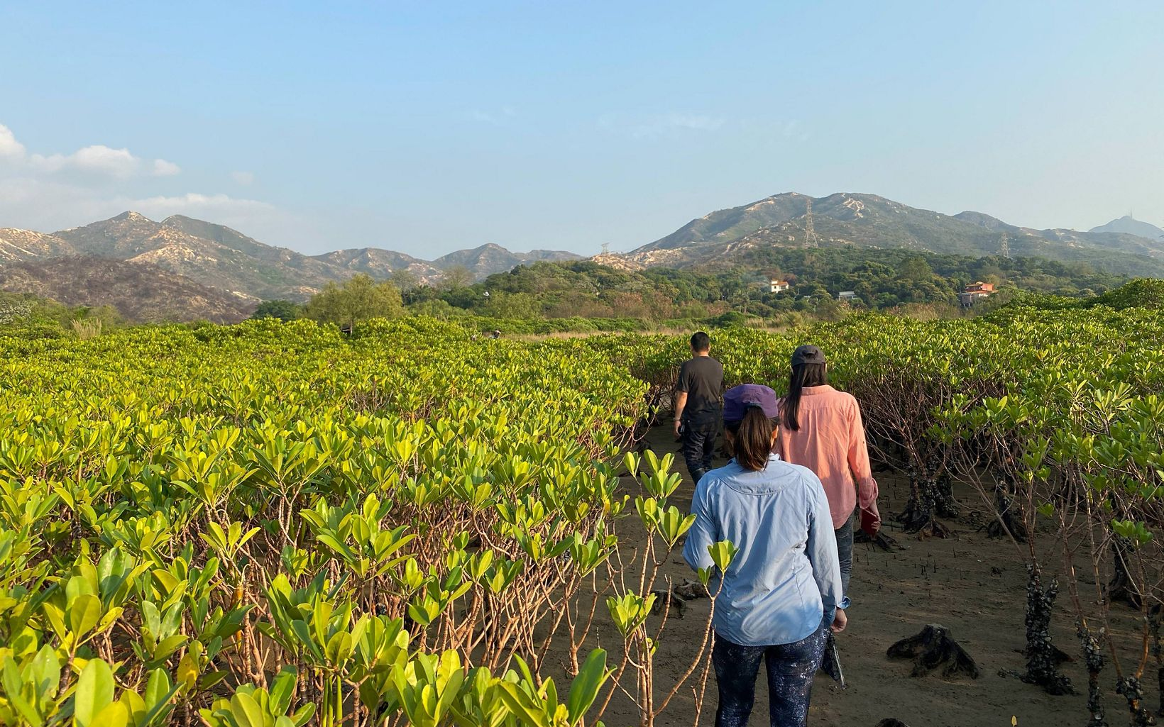 Three people with their backs to the camera walk through a field of mangroves.