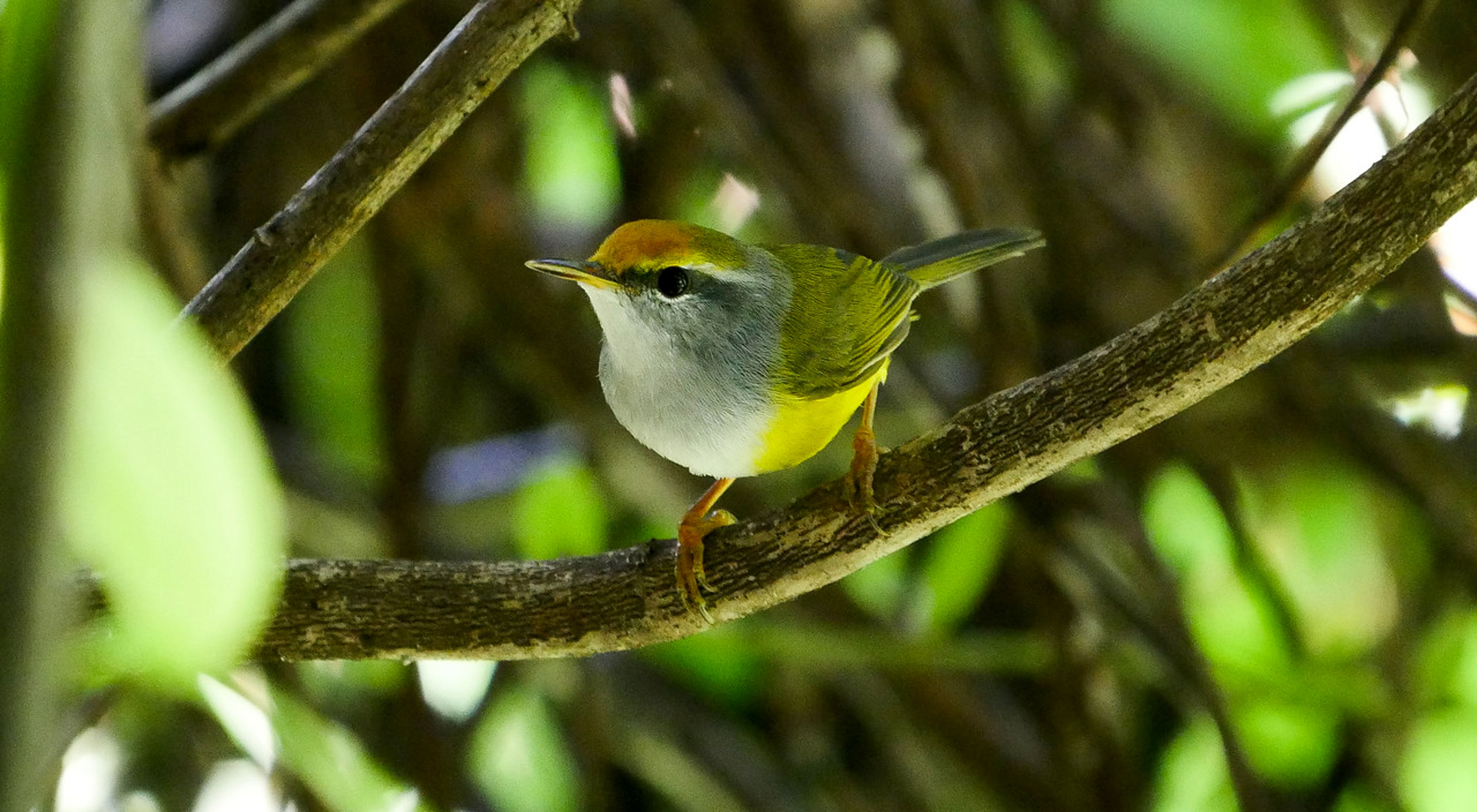 Secretive, yellow-colored warbler