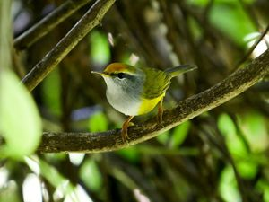 A cute yellow Mountain Tailorbird sits on a branch in a tree.
